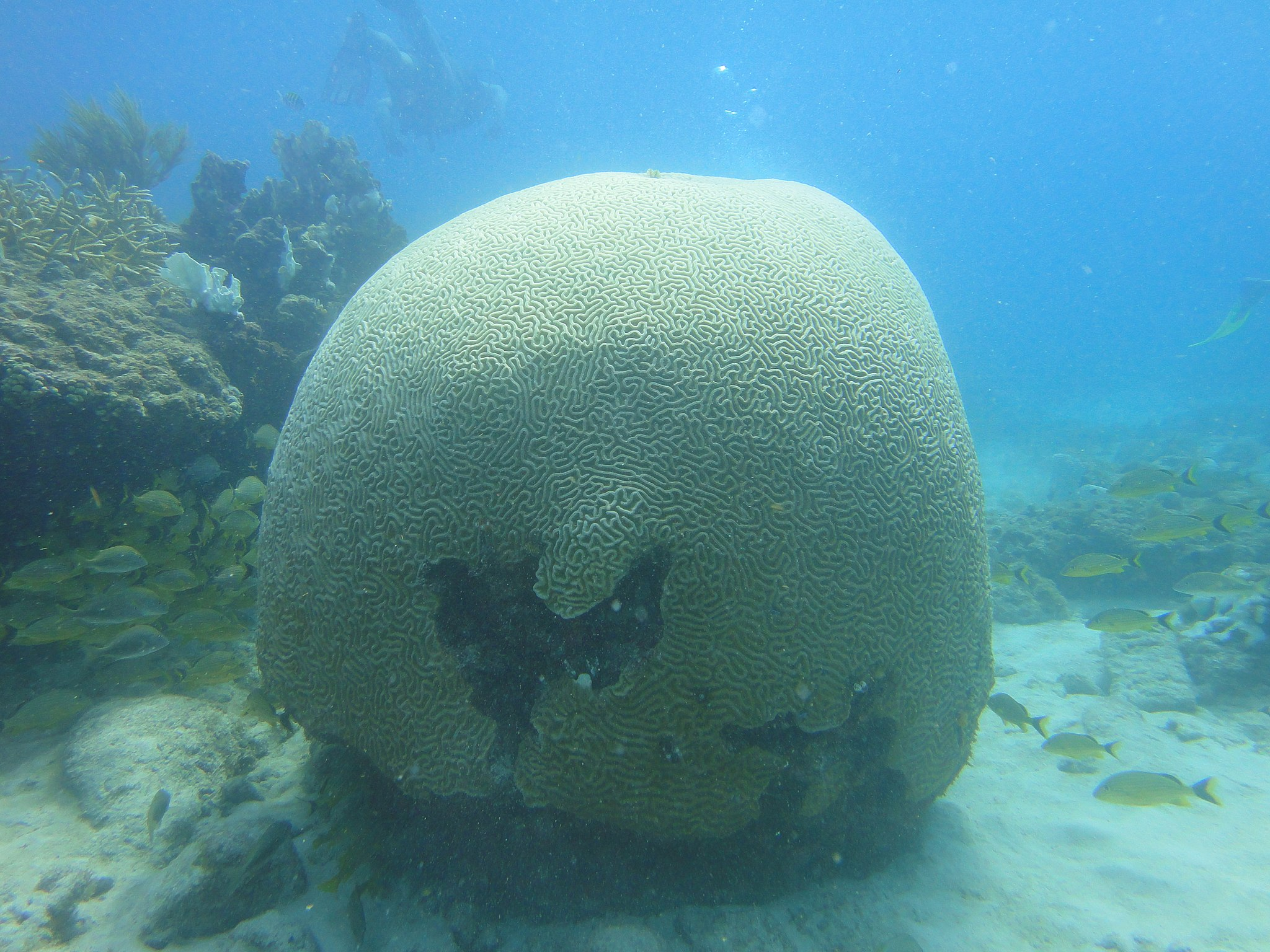Gehirnkoralle im Pickles Reef vor Key Largo