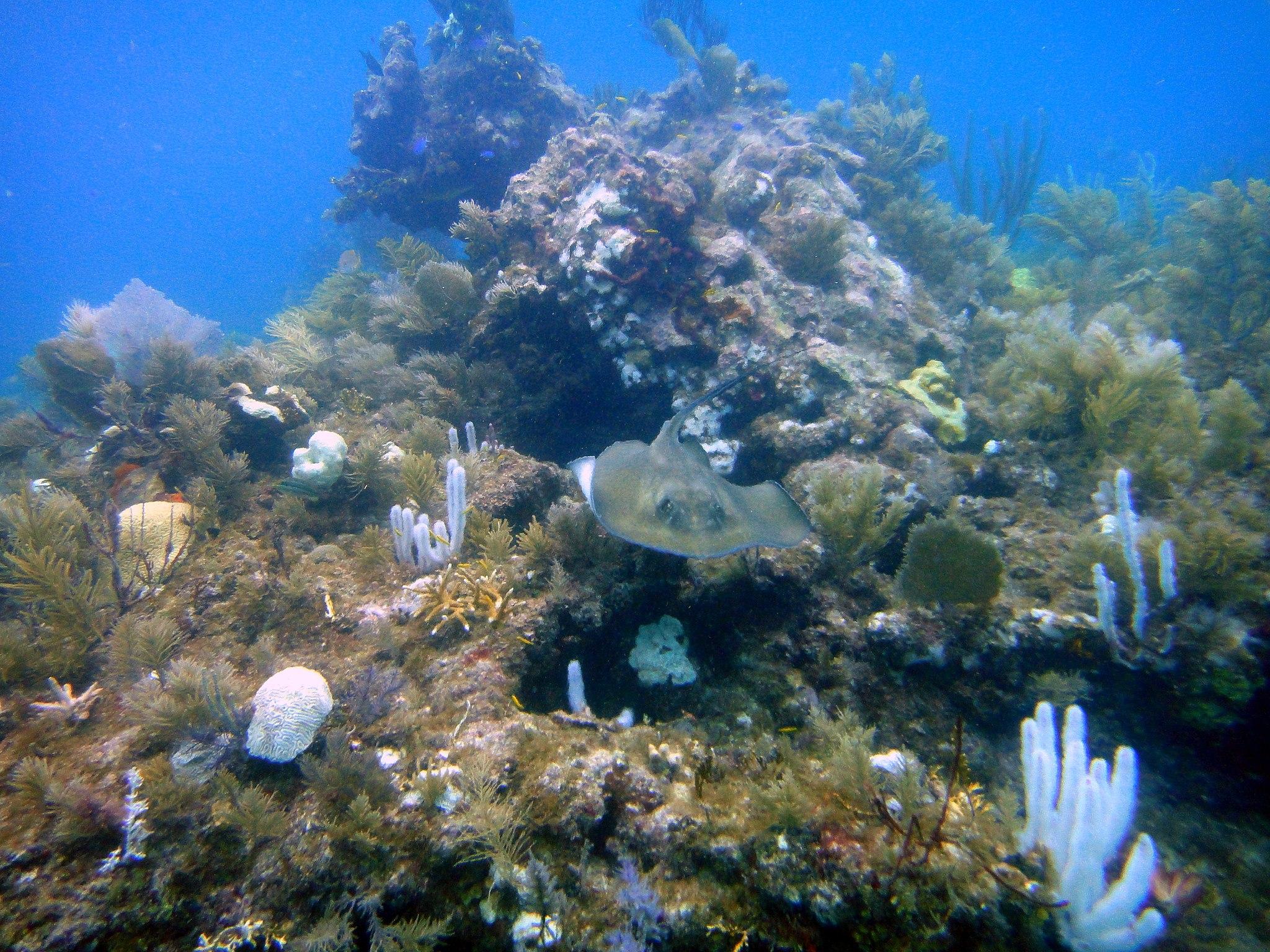Rochen im French Reef - Key Largo